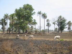 Grazen op verbrand gras
