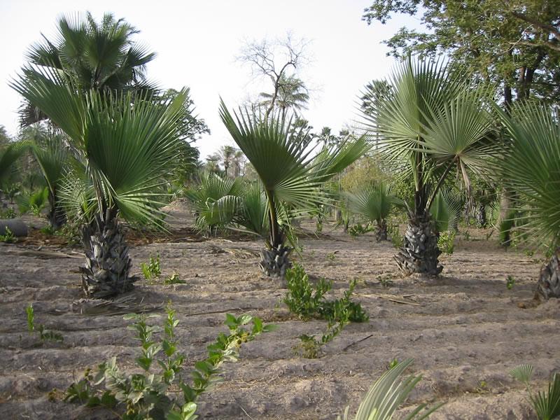 Net buiten Darsilami, prachtige palmrhons