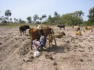 Koeien houden in de buurt van Bajiran