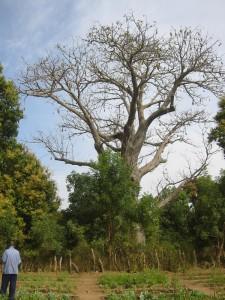 De grote baobab in de schooltuin van Darsilami